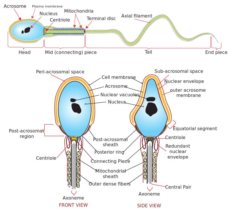 A schematic diagram of a human sperm