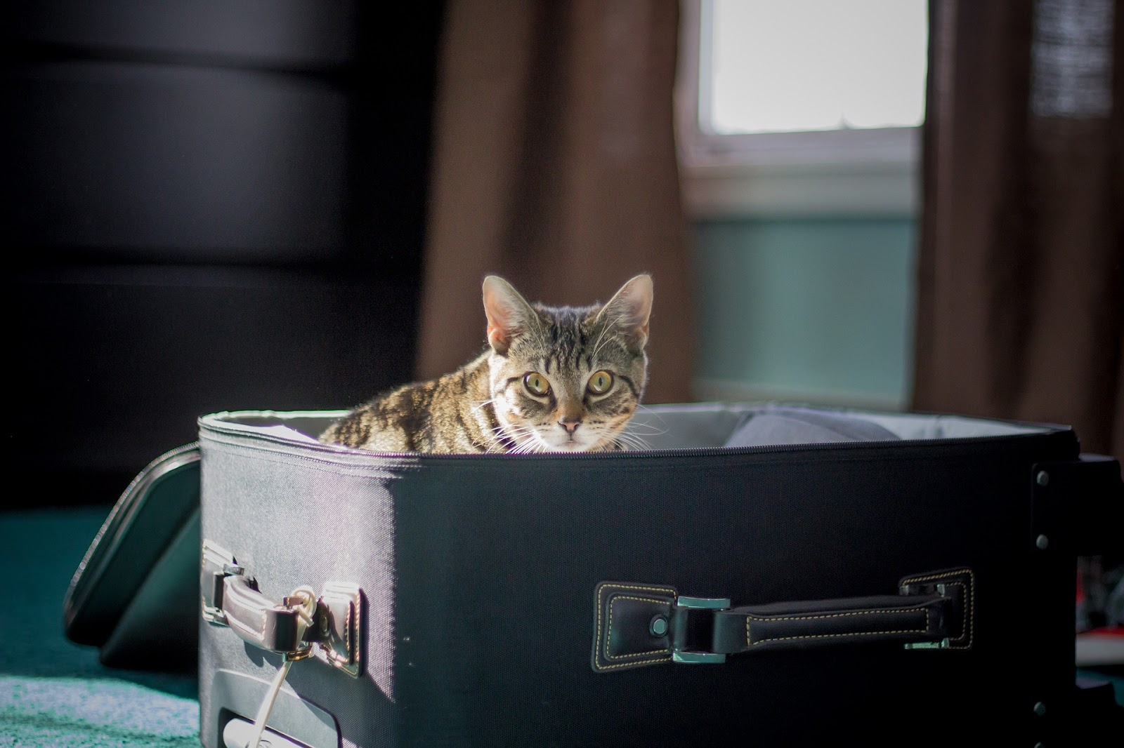 grey and brown cat peeking up out of an open, blue suitcase