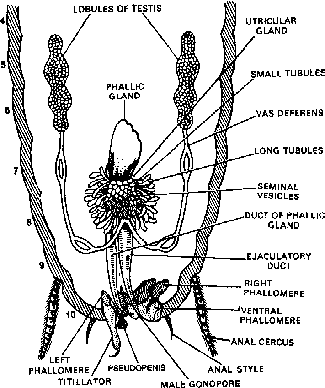 class 11 zoology chapter morphology anatomy of earthworm Male Reproductive Hormones reproductive ans of male cockroach