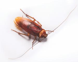 American Cockroach