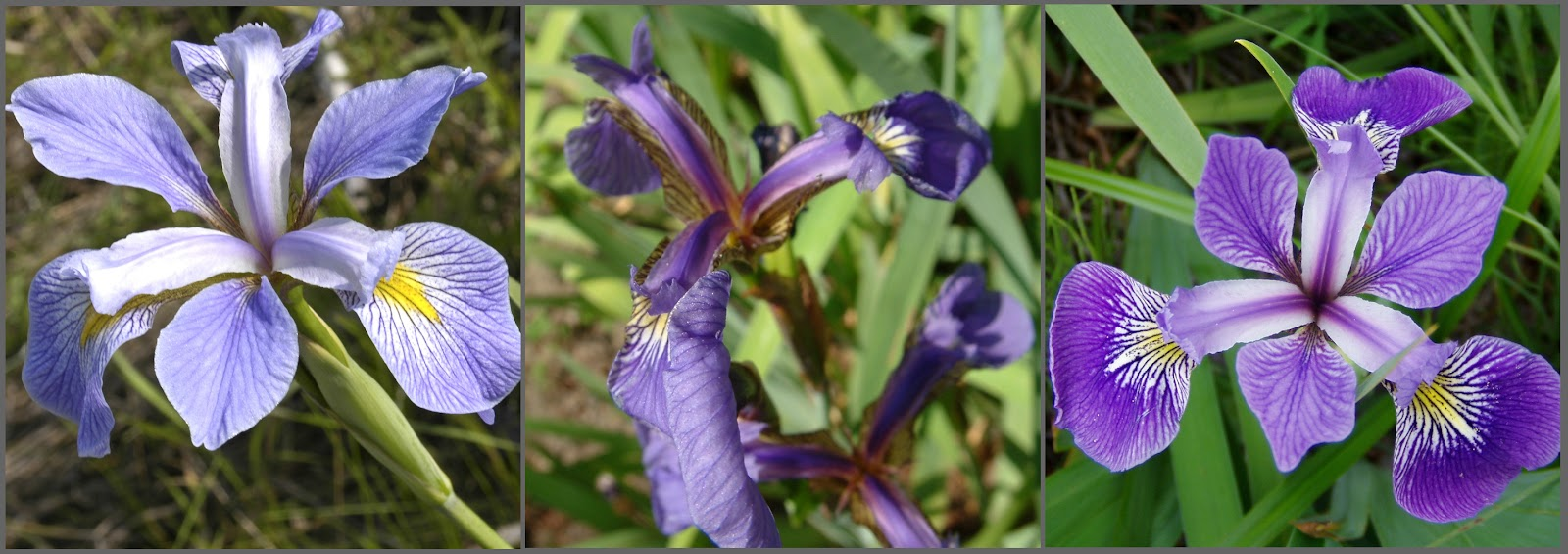 Supervised learning can identify irises. (Iris virginica image by Frank Mayfield)