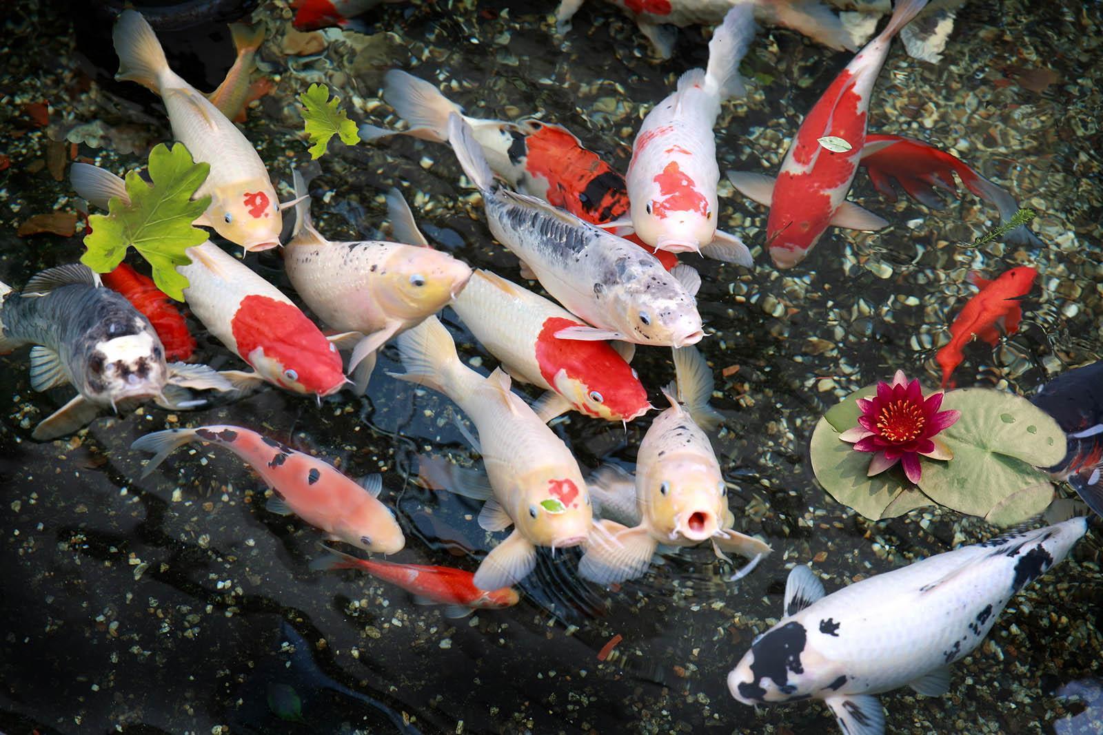 Kết quả hình ảnh cho nuôi cá koi