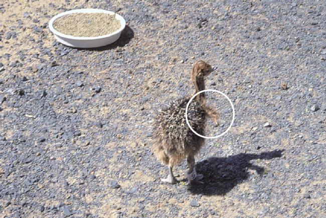Heat stress in an ostrich chick