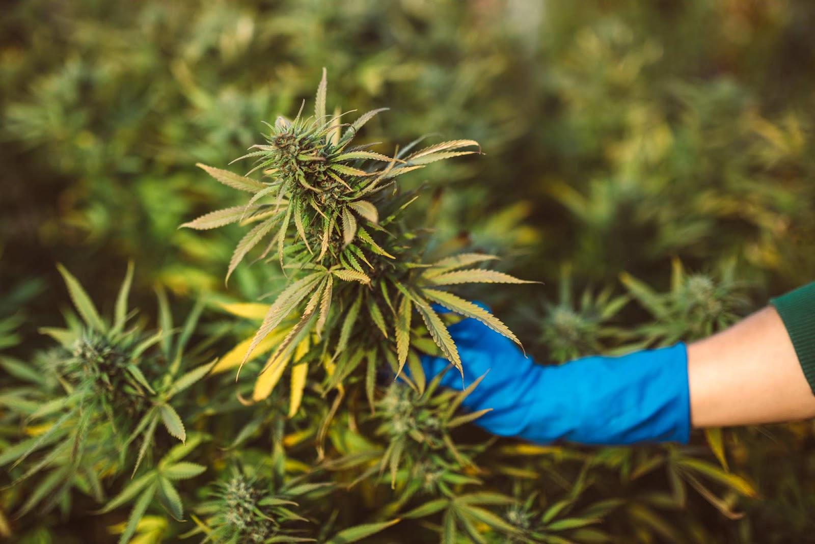Pi CBD plant