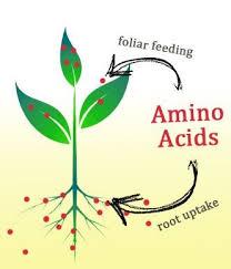 aplicação foliar de Aminoácidos