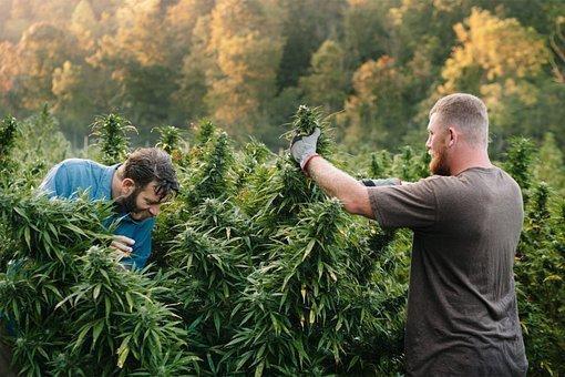 Cannabis, People, Harvest, Guys, Men