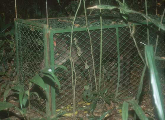 A tapir was captured in a peccary box trap as it was baited with bananas.