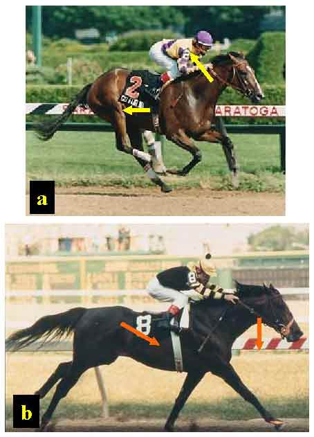 Respiration-locomotion coupling in galloping horse.