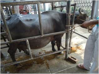 A buffalo with hydroallantois. The extensive enlargement of the abdomen is visible. (Photo Courtesy Dr Gyan Singh, Assistant Professor, Teaching Veterinary Clinical Complex, Lala Lajpat Rai University of Veterinary and Animal Sciences, Hisar, Haryana, India).