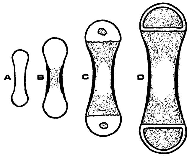 Schematic drawing of the development of a long bone