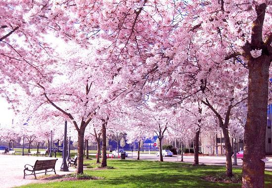 Image result for mùa xuân Nhật Bản