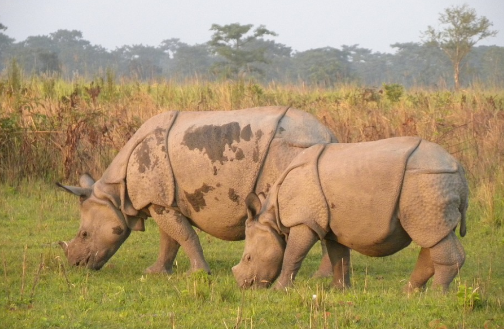 Rhinos at Manas Park