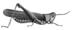 Picture of a grasshopper