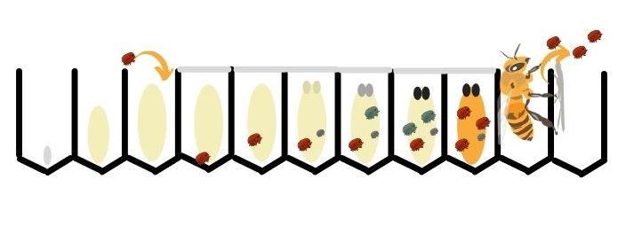 Cycle de reproduction du varroa