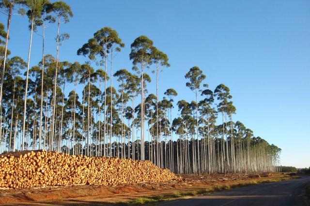 Eucaliptos correspondem a 73% das florestas comerciais do Brasil (Fonte: Embrapa/Reprodução)