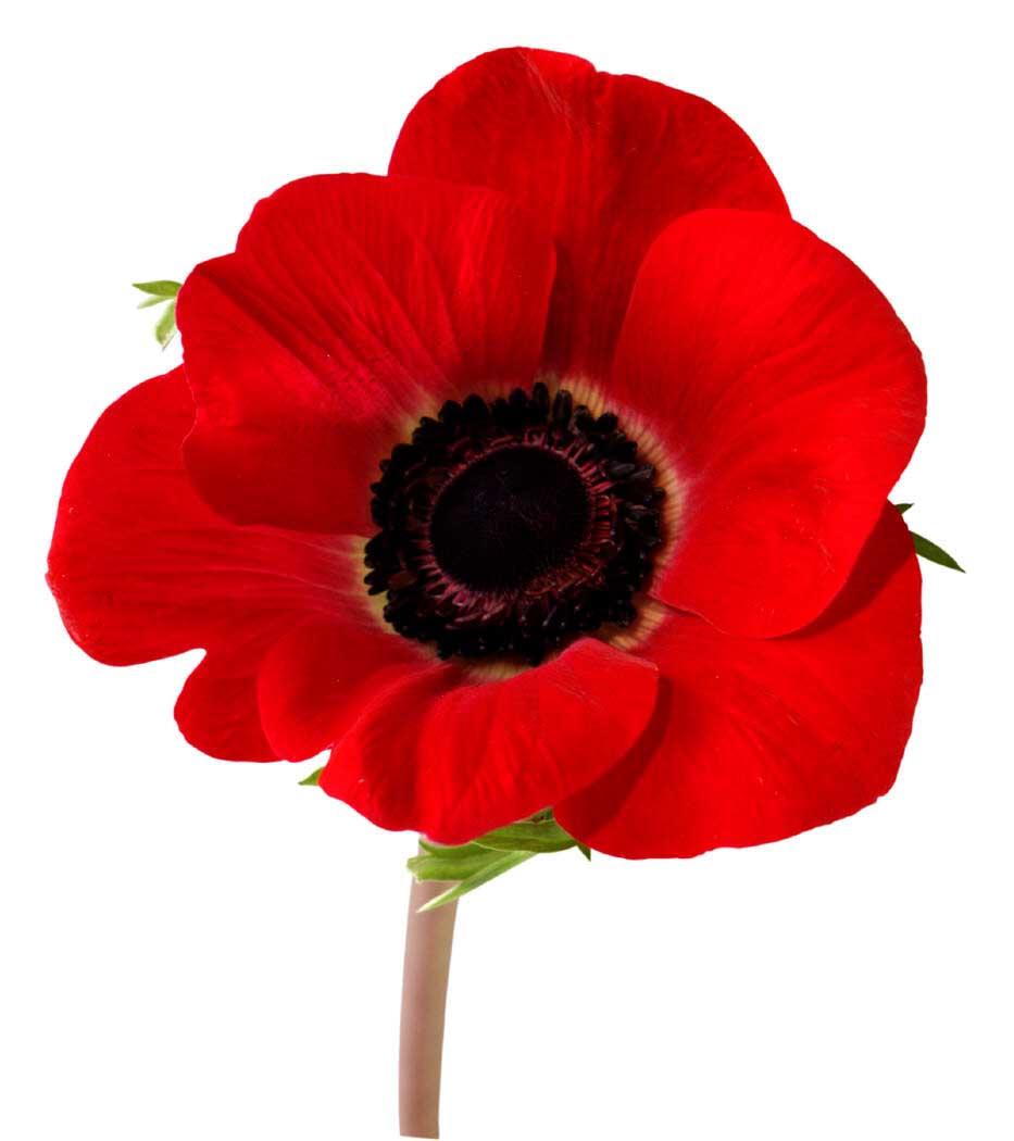 poppy-image.jpg