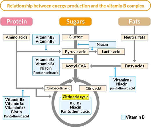 Relationship between energy production and the vitamin B complex