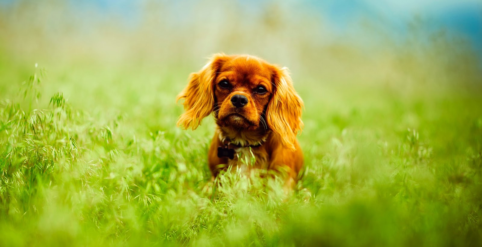 Red furry dog playing in high green grass