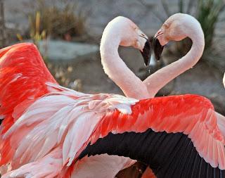 Coração gay dos flamingos