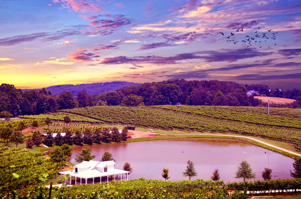 Vineyard, Napa Valley, Napa Vineyard, Grapes, Vine