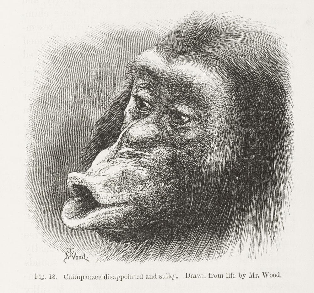 Sulky_chimpanzee_from_Darwi.jpg