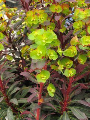 Euphorbia amygdaloides 'Ruby Glow' (spurge) | Euphorbia plant, Euphorbia,  Plants