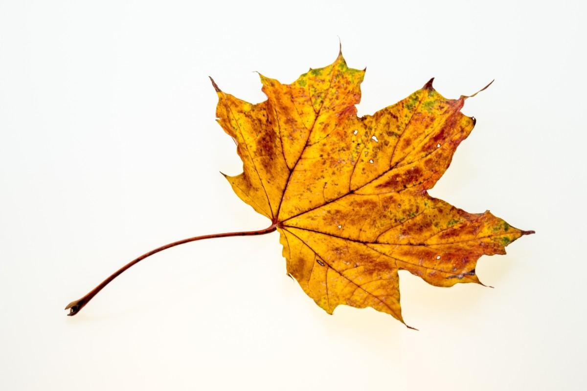 arbre la nature branche plante feuille d'or Couleur l'automne jaune saison érable feuille d'érable feuilles illustration Feuillage d'automne Feuilles à l'automne Couleurs d'automne plante à fleurs Tige de plante Plante ligneuse Plante terrestre
