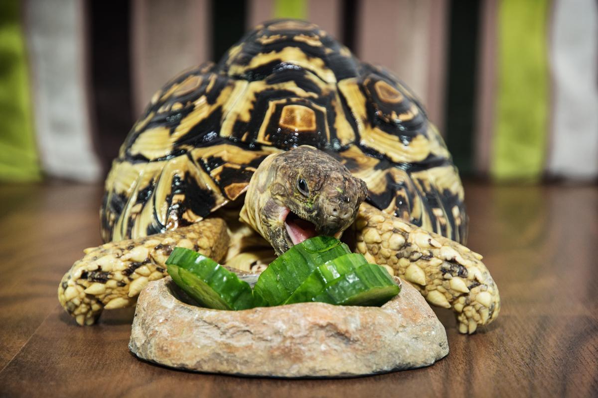 Image result for leopard tortoise eating
