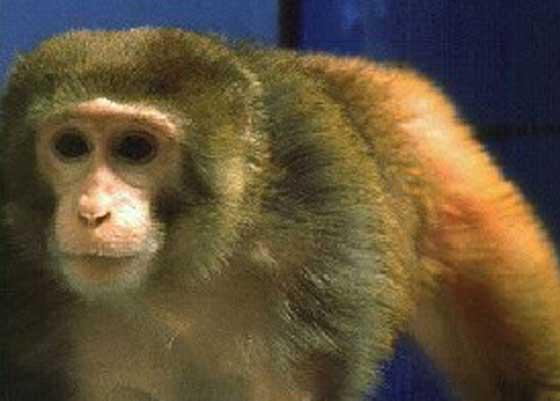 Macaca mulatta (Juvenile rhesus macaque) [11].