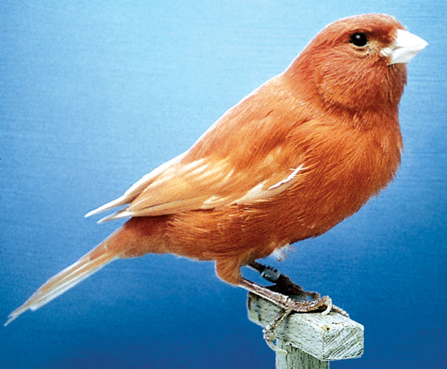 A red color canary is shown