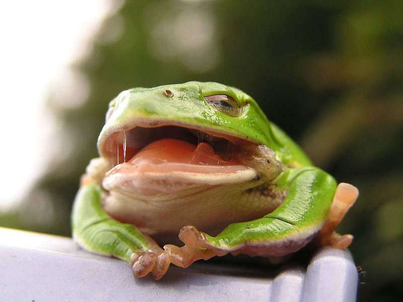 Frog with mouth open