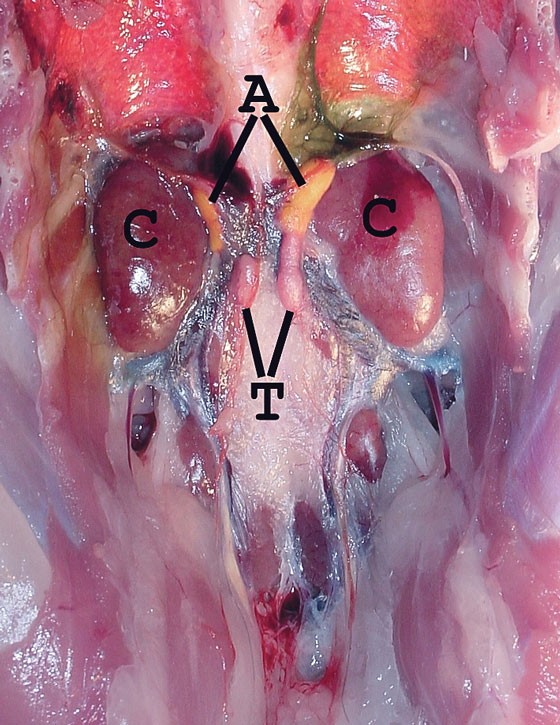 Gross renal anatomy of a normal immature male red-tailed hawk (Buteo jamaicensis) that died from head trauma