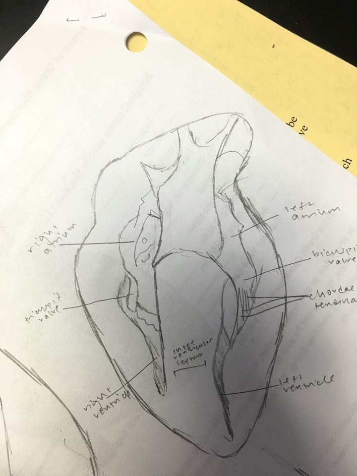 Nicole\'s Anatomy & Physio Blog: Group Lab: Sheep Heart Dissection