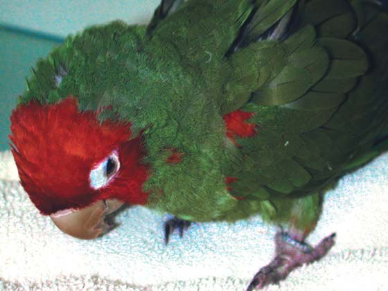 A very ill conure is barely able to keep its eyes open and maintain its balance