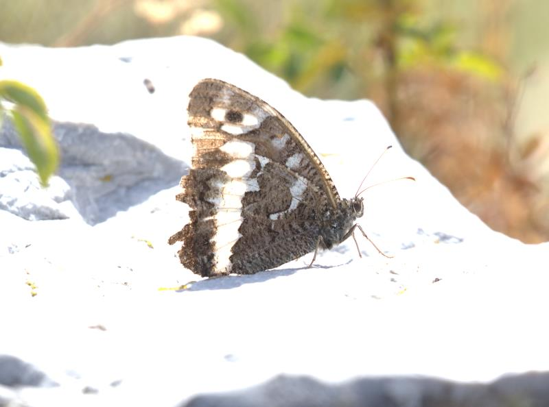 great banded grayling_rsz.jpg