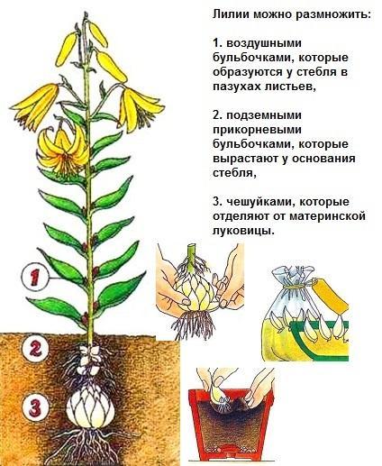 http://ewt-market.ru/wp-content/uploads/2014/09/Lily.jpg