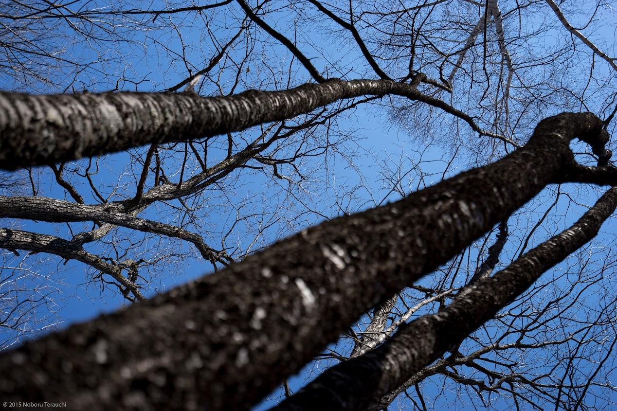 見上げた樹木の間に反響するキツツキの音