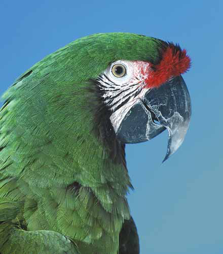 The military macaw  is often confused with the Buffon's macaw, but is slightly smaller and equally rare in captivity