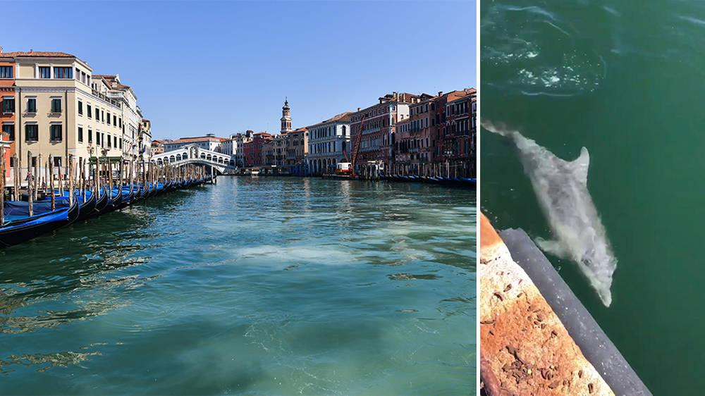 Description: Image result for dolphins in venice canals