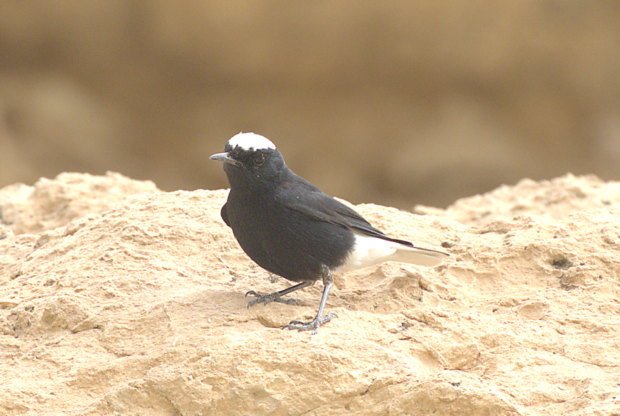 white-crowned black wheatear small.jpg