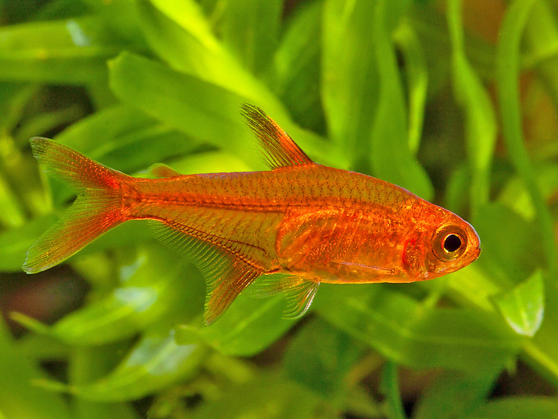 Closeup of a bright, orange-red tetra