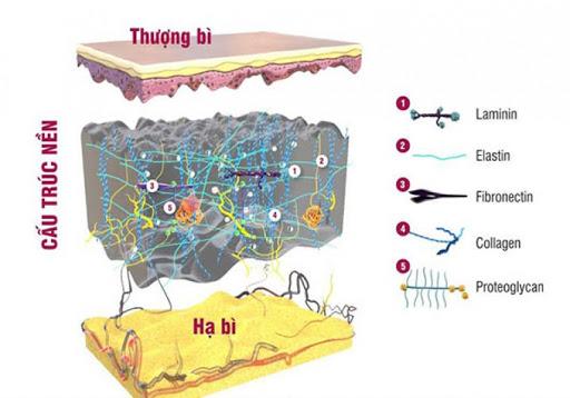 VERISOL ® có tác dụng một cách có hệ thống quá trình chuyển hóa collagen ở lớp hạ bì