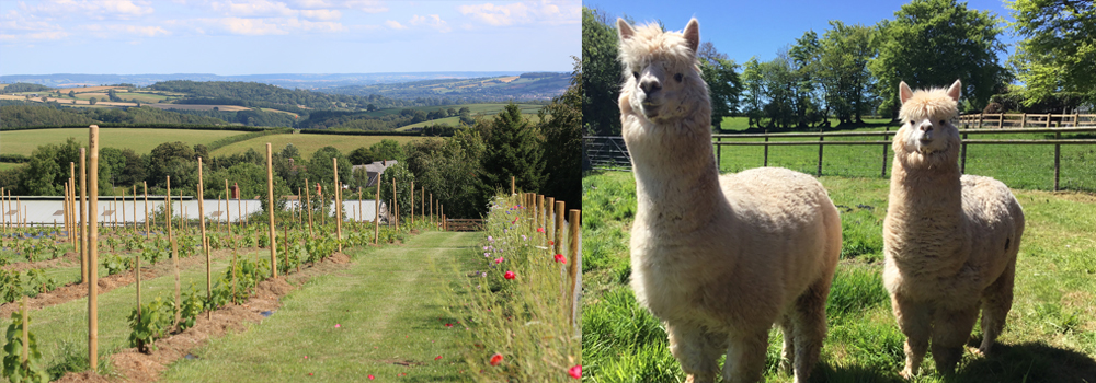 Enjoy the stunning vineyard and meet the alpaca's at Quoit-at-Cross.