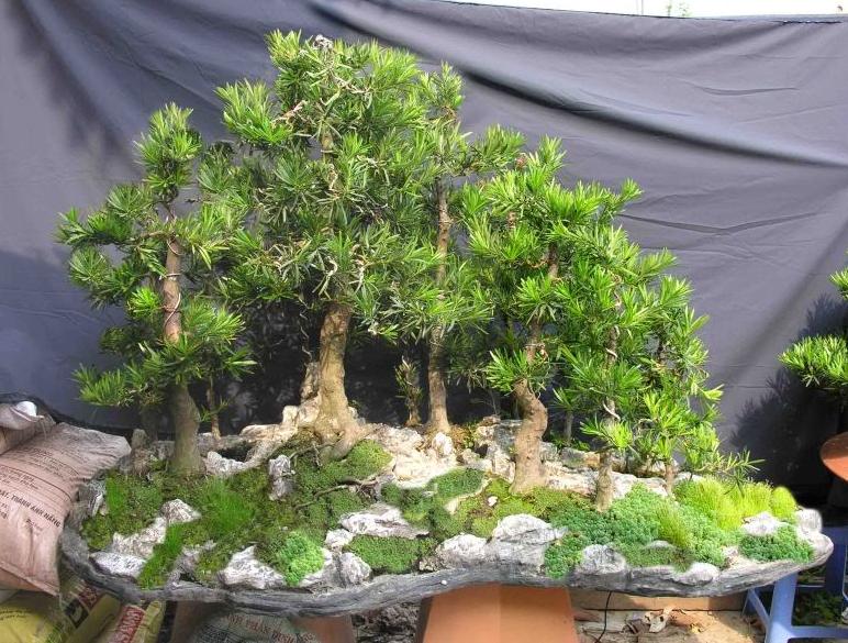 Đơn vị cung cấp cây bonsai có sức sống tốt nhất