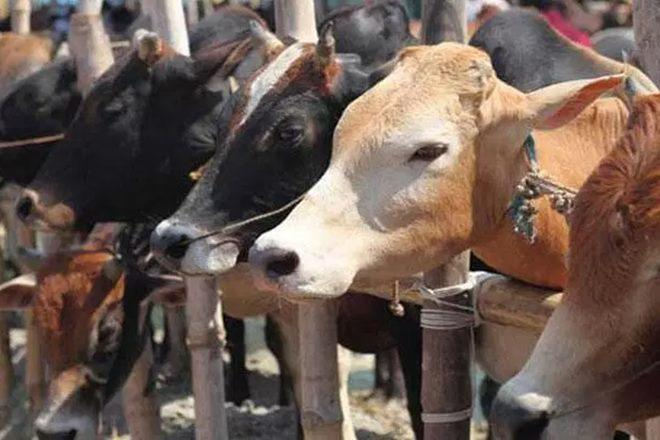 Image result for nsa india and cow slaughter