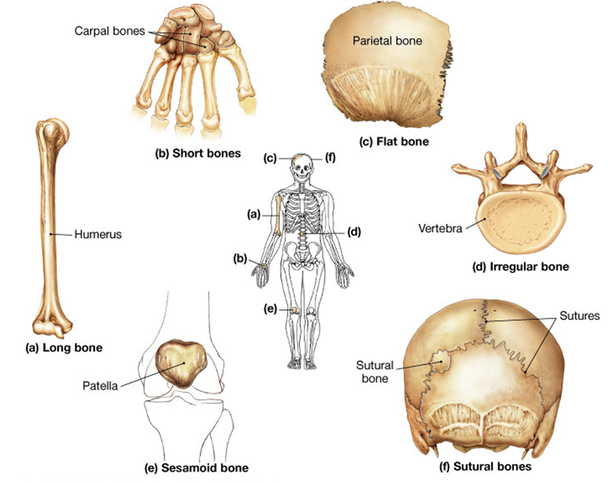 Aula virtual anatomia basica: 3.04 Clasificacion osea segun su forma