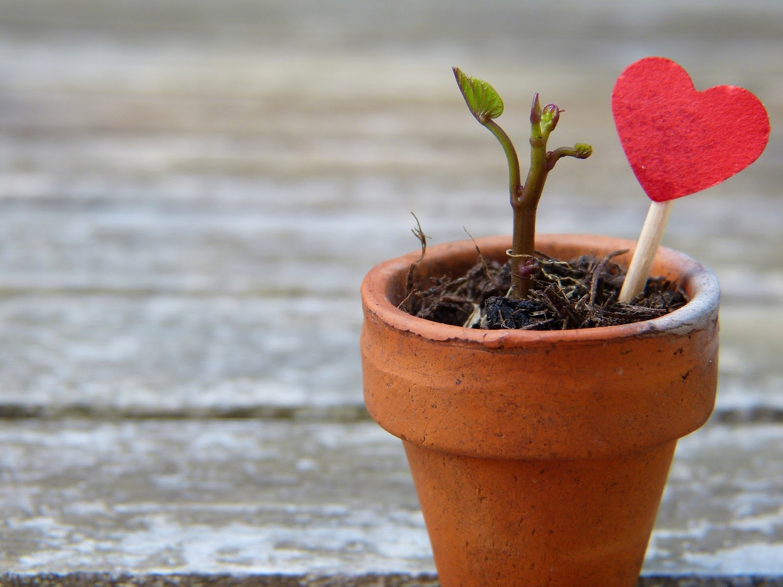 Tiny plant in pot with heart