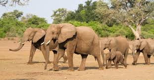 Image result for some family elephant in  Africa