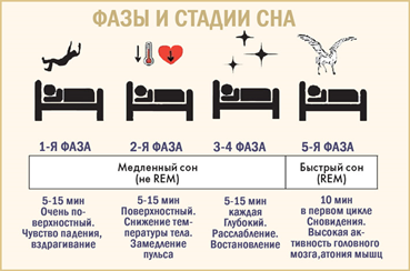 Фазы и стадии сна