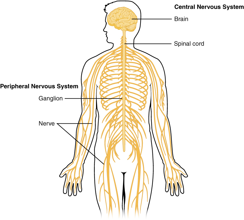 My Human Body Systems The Nervous System